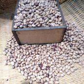 【新物】長うずら豆 5合(約700g) 28年産 新豆